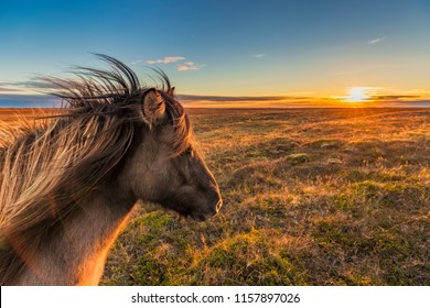 An Icelandic Horse enjoys the sunset on an autumn evening somewhere on the Snaefellsnes peninsula