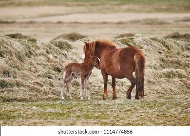 Icelandic horse feeding it's baby