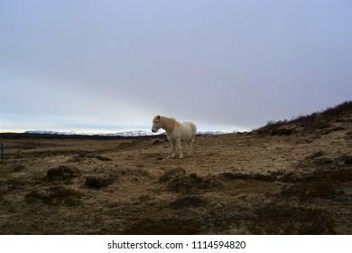 An Icelandic horse in a field