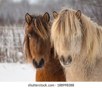 Icelandic Horse Geldings in Winter