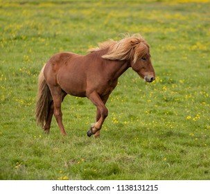 Icelandic Horse in a grass field