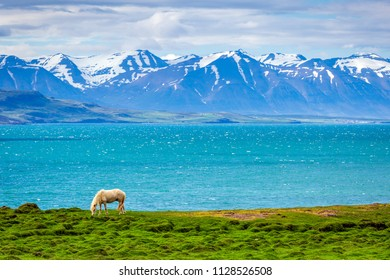 Icelandic Horse grazing with glacier blue water and snow capped mountains - Iceland