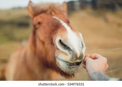 Icelandic Horse on farm