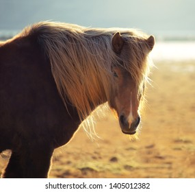 Icelandic horse on the field of scenic nature landscape at countryside in Iceland