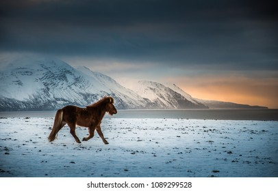 Icelandic horse on snowy field, winter north Iceland
