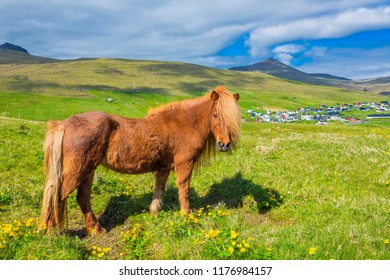Icelandic Horse On A Summer Meadow, Mountain And Saksun Village On Background, Located On The Faroe Islands, Denmark