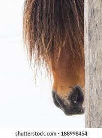 Icelandic Horse Peeking around Post