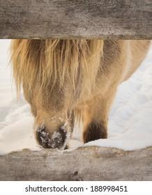 Icelandic Horse Peeking Through Fence in Winter Snow