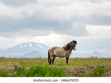Icelandic Horse standing in front of Hekla Volcano in Iceland