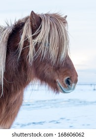 Icelandic horse standing in a white winter landscape