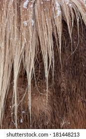 Icelandic Horse in winter snow detail of hair