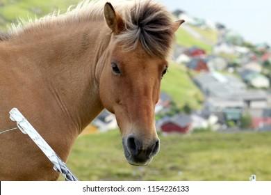 Icelandic horses in the Faroe Islands.