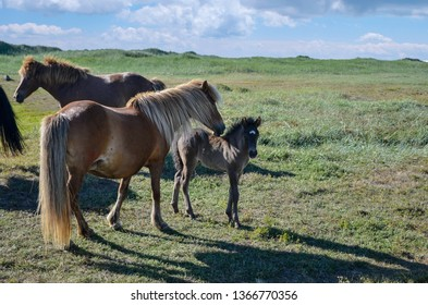 Icelandic Horses in field, mother with colt