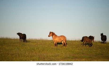 Icelandic horses grazing on pasture at sunrise in orange sunny beams. Dramatic foggy scene. at dawn in the mist. Their silhouette illuminated by the sun. Horse eating grass in the foreground,