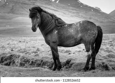 Icelandic Horses - Iceland