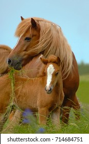 Icelandic horses, mare and foal.
