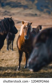 Icelandic horses in the mountains . The Icelandic horse is a breed of horse developed in Iceland.