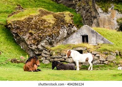 Icelandic horses near the Rutshellir Cave Area in Iceland