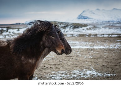 Icelandic Horses on mountain