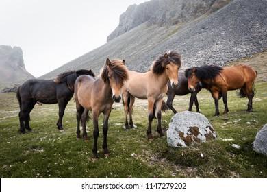 Icelandic horses on mountains background. Landscape and animal photography
