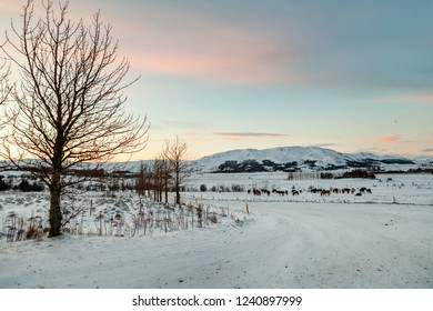 Icelandic horses on a snowy cold winters morning, Iceand