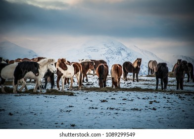 Icelandic horses on snowy field, winter north Iceland