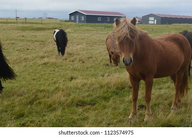 Icelandic Horses Out to Pasture