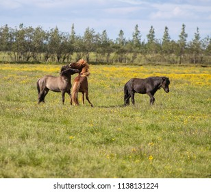 Icelandic Horses Playing in a field