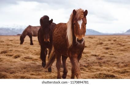 Icelandic horses running free