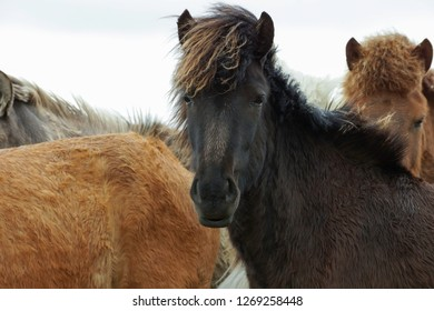Icelandic horses standing together on a windy day. Icelandic horses, horses, animal and Iceland concepts.