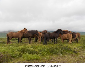 Icelandic horses in their native country
