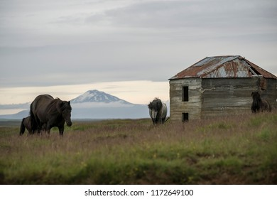 Icelandic horses and the vulcano Hekla in the background