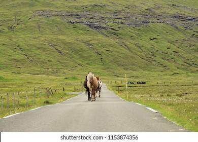 Icelandic horses walking in the middle of the street in Faroe Islands