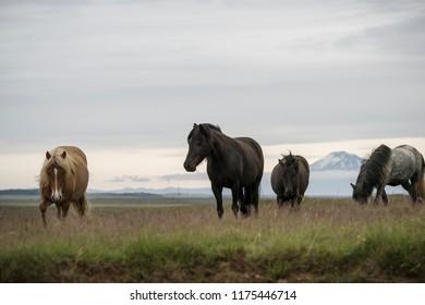 Icelandic horses in wild country