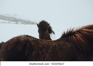 Icelandic horses in winter time