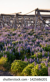 Icelandic lupins with wood for dry fish