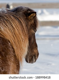 Icelandic Mare Napping in the Morning Sun