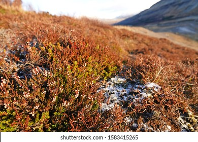 Icelandic mountaing live grass growing with snow