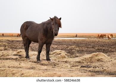 Icelandic pony.