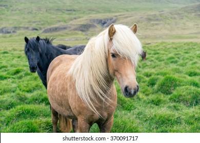 Icelandic pony on pasture.