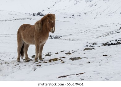 Icelandic pony standing in snow covered field.