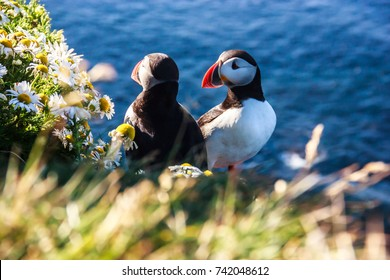 Icelandic Puffin bird couple standing in flower bushes on rocky cliff on sunny day at Latrabjarg, Iceland, Europe. Animal wildlife puffin in the wild has black crown and back, pale grey cheek patches