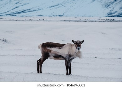 Icelandic reindeer grazing near the Glacier Lagoon in south east Iceland in its natural winter environment.