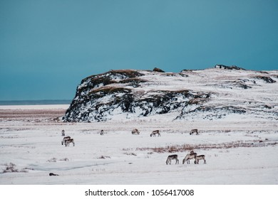 Icelandic reindeers grazing near the Glacier Lagoon in south east Iceland in its natural winter environment.
