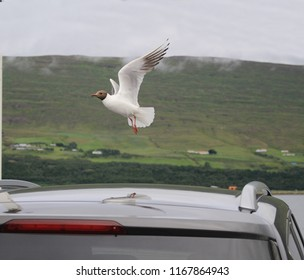 Icelandic seagull above the car