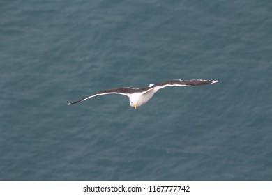 Icelandic seagull fly
