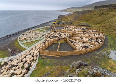 Icelandic sheep beeing driven dowen from the Icelandic highlands at the end of summer