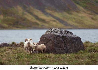 The Icelandic sheep  is a breed of domestic sheep.