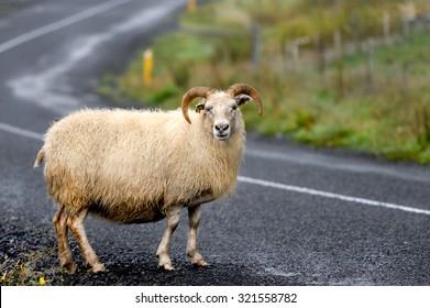 Icelandic sheep crossing a road.