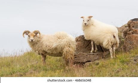 Icelandic sheep in meadow near the Atlantic Oceans coast